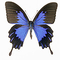 Swallowtail Butterfly Print by Lawrence Lawry