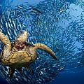 Green Sea Turtle Poster by Dave Fleetham