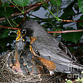 Robin Feeding Its Young Poster by Ted Kinsman