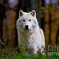Arctic Wolf Print by Michael Cummings