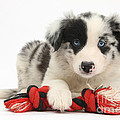 Border Collie Pup Print by Mark Taylor