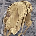 Cat Flea, Sem Print by Steve Gschmeissner