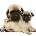 Pug And English Mastiff Puppies Poster by Jane Burton