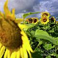 Field of sunflowers Print by BERNARD JAUBERT