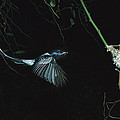 Madagascar Paradise Flycatcher Print by Cyril Ruoso