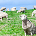 Sheeps Print by MotHaiBaPhoto Prints