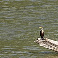 Double-crested Cormorant Poster by Jack R Brock