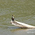 Double-crested Cormorant Print by Jack R Brock