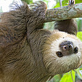 Hoffmanns Two-toed Sloth Choloepus Poster by Suzi Eszterhas