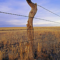 A Barbed Wire Fence Stretches Poster by Gordon Wiltsie