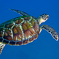 A Black Sea Turtle Off The Coast Print by Michael Wood