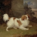 A Blenheim Spaniel Poster by William Webb