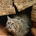 A Bobcat Pokes Out From Its Alcove Print by Norbert Rosing