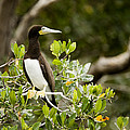 A Brown Booby Sula Leucogaster Poster by Tim Laman