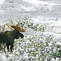 A Bull Moose On A Snow Covered Hillside Print by Rich Reid