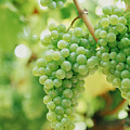 A Bunch Of Green Grapes Hanging From The Vine Poster by Victoria Pearson