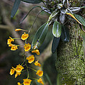 A Close View Of A Beautiful Dendrobium Print by Taylor S. Kennedy