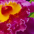 A Close View Of A Bright Pink Cattleya Poster by Jonathan Blair
