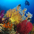 A Diver Looks On At A Colorful Reef Print by Steve Jones