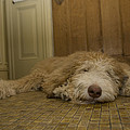 A Dog Lies On A Linoleum Floor Poster by Joel Sartore