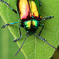 A dogbane leaf beetle, Poster by GEORGE GRALL