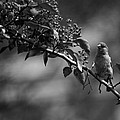 A Finch in Philly Print by Steven Gray