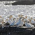 A Flock Of Gannets Standing On A Rock Poster by John Short