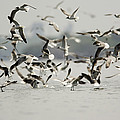 A Flock Of Laughing Gulls Larus Poster by Tim Laman