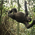 A Gorilla Swinging From A Vine Poster by Michael Nichols