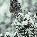 A Great Gray Owl Strix Nebulosa Perches Print by Tom Murphy