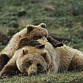A Grizzly Bear Cub Stretches Print by Michael S. Quinton