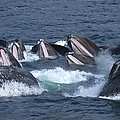 A Group Of Humpback Whales Bubble Net Print by Ralph Lee Hopkins