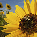 A Honey Bee Visiting A Sunflower Poster by Tim Laman