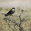 A Juvenile Hobby Perches On A Branch Print by Klaus Nigge