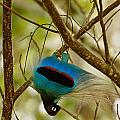 A Male Blue Bird Of Paradise Performing Print by Tim Laman