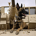 A Military Working Dog Sits On A U.s Print by Stocktrek Images