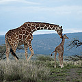 A Mother Giraffe Nuzzles Her Baby Poster by Pete Mcbride