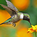 A Nice Hummer Poster by Jessie Dickson