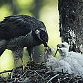 A Northern Goshawk Feeds Its Scrawny Print by Michael S. Quinton