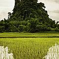 A Rice Field In Asia Poster by Nathan Lau