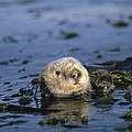 A Sea Otter Floats In A Tangle Of Kelp Print by Paul Nicklen