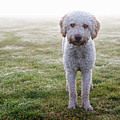 A Spanish Water Dog Standing A Field Print by Julia Christe