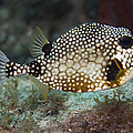 A Spotted Trunkfish, Key Largo, Florida Poster by Terry Moore