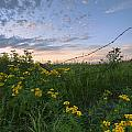 A Summer Evening Sky With Yellow Tansy Poster by Dan Jurak