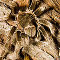 A Tarantula Living In Mangrove Forest Poster by Tim Laman