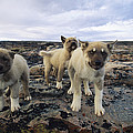 A Trio Of Growling Husky Puppies Print by Paul Nicklen