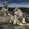 A Trio Of Playful Husky Puppies Print by Paul Nicklen