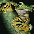 A Wallaces Flying Frog, Rhacophorus Poster by Tim Laman