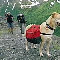 A Yellow Labrador, Wearing A Backpack Print by Rich Reid