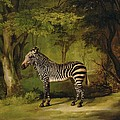 A Zebra Poster by George Stubbs